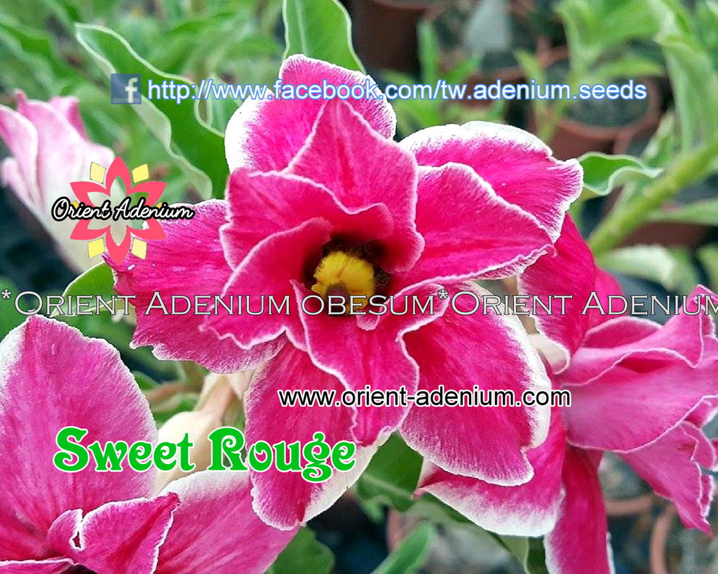 Adenium obesum Sweet Rough 15 seeds