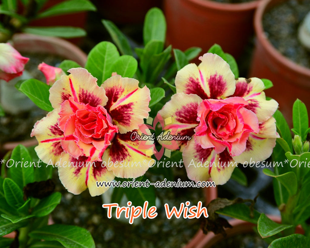 Adenium obesum Triple Wish Grafted plant
