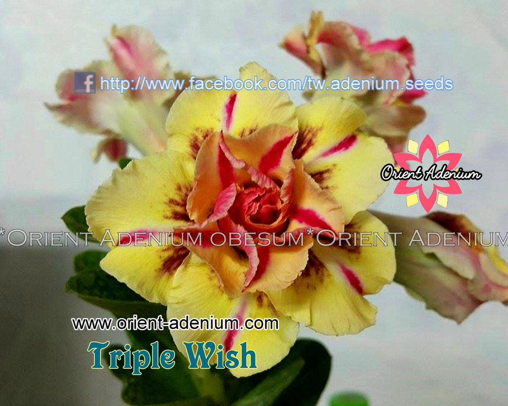 Adenium obesum Triple Wish seeds