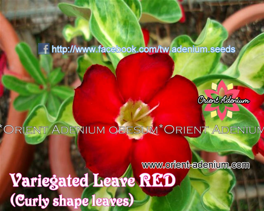 Adenium Variegated Leaves Red Grafted Plant