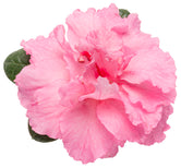 Azalea Fragrance Oil