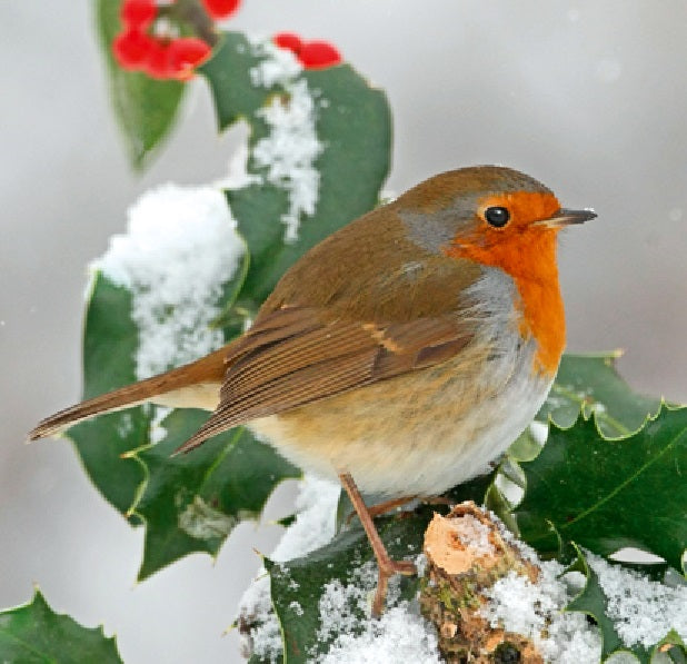 Robin Red Breast Fragrance Oil - EazyColours