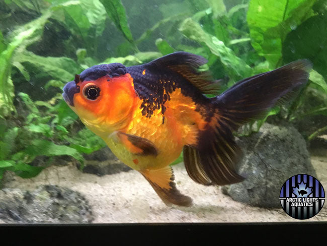 Arctic Lights Aquatics Oranda Moana