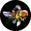 Dandy orandas is an auction site for imported goldfish