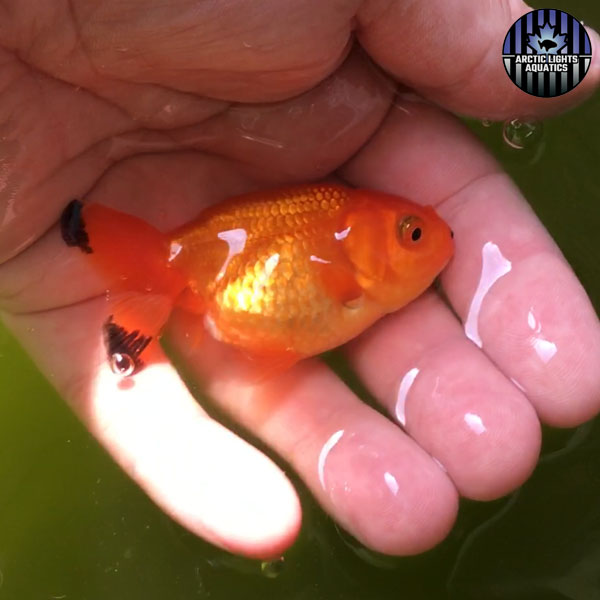 red ranchu with solid body and black fin tips