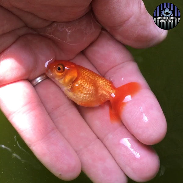 little red ranchu baby with more of a lionhead body