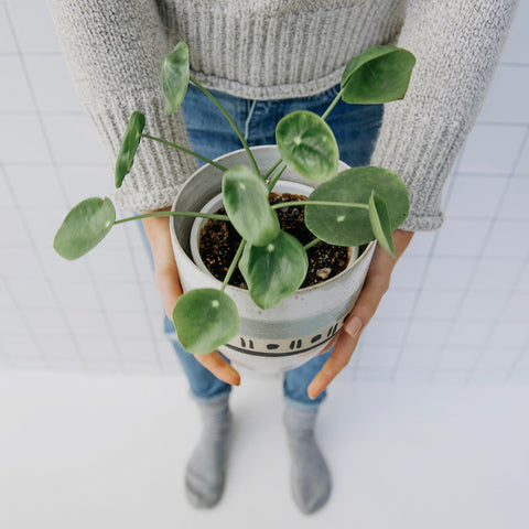 pilea in handmade planter