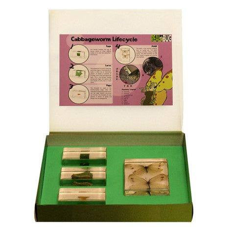 4PC Cabbageworm Life Cycle Biology For Kids