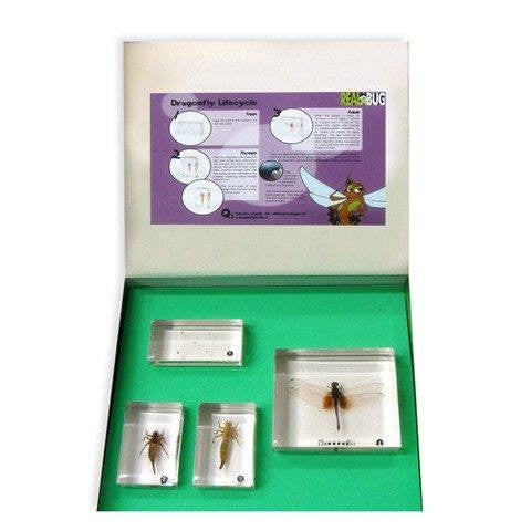 4PC Dragonfly Life Cycle Biology For Kids