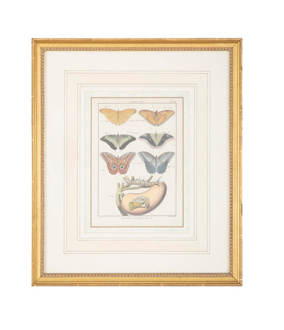 Set of Six 19th Century Butterfly Prints in Gilt Wood Frames