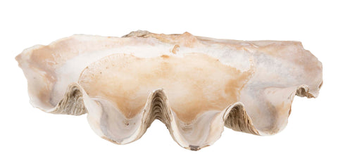Giant South Pacific Clam Shell