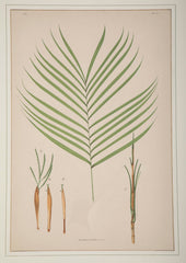 Chromolithographs of Brazilian Palms by Joao Barbosa Rodrigues