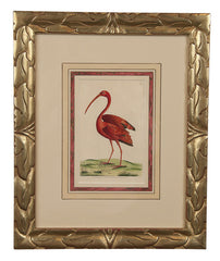 F.P. Nodder Print of a Flamingo