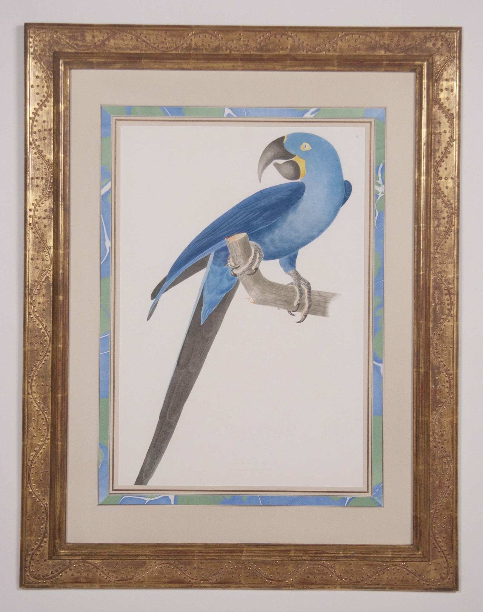 Folio Chromolithograph of a Parrot after Jean Theodore Descourtilz
