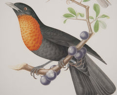 Chromolithograph of Two Birds after Jean Theodore Descourtilz