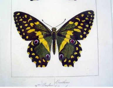 Engraving of Butterfly