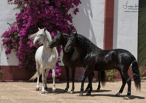 Three Stallions with Bougainvillea