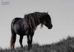 Sable Island Black Stallion lookout