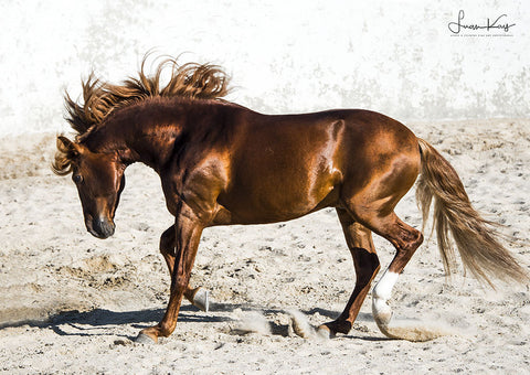 Copper Lusitano Stallion at play - Luan Kay Photography Shop, horse photography, wildlife photography