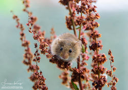 Harvest mouse in Autumn