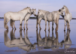 Restful Reflections from the Camargue - Luan Kay Photography Shop, horse photography, wildlife photography