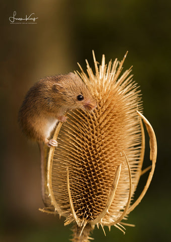 Teasel harvest mouse - Luan Kay Photography Shop, horse photography, wildlife photography