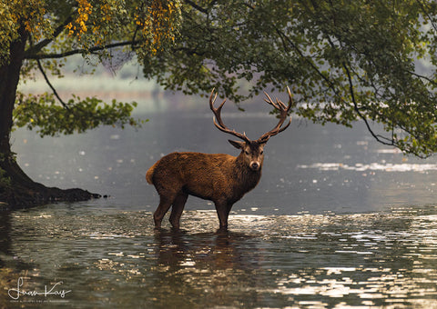 Red stag in the lake - Luan Kay Photography Shop, horse photography, wildlife photography