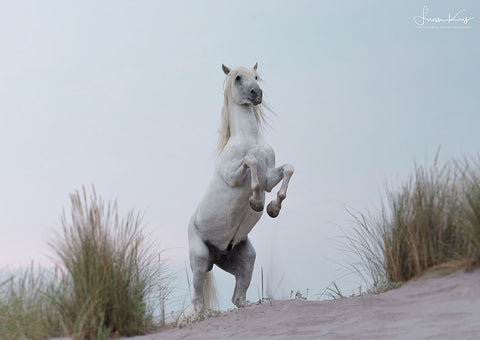 White Stallion on the beach - Luan Kay Photography Shop, horse photography, wildlife photography