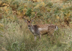 Camouflage wild fallow deer - Luan Kay Photography Shop, horse photography, wildlife photography