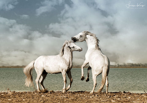 Young stallions at play - Luan Kay Photography Shop, horse photography, wildlife photography