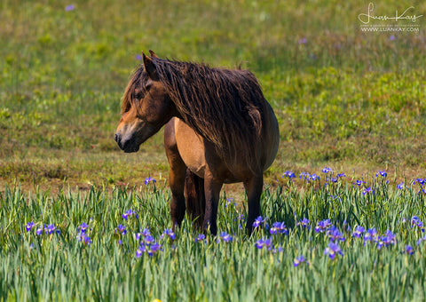 Sable Island Stallion with Blue Flag Iris - Luan Kay Photography Shop, horse photography, wildlife photography