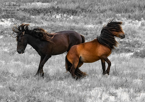 Sable Island Stallion Scuffle - Luan Kay Photography Shop, horse photography, wildlife photography