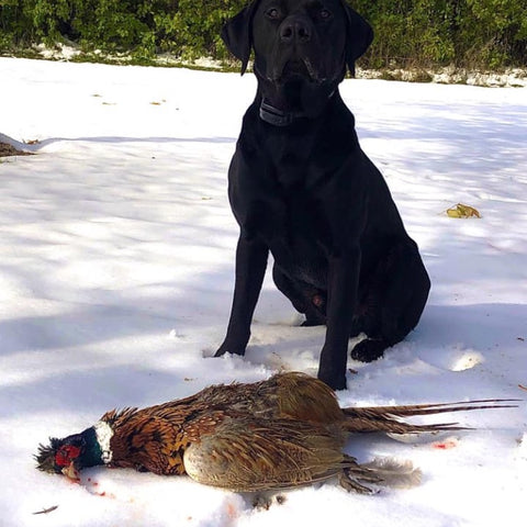 Proud Retriever Catches First Peasant