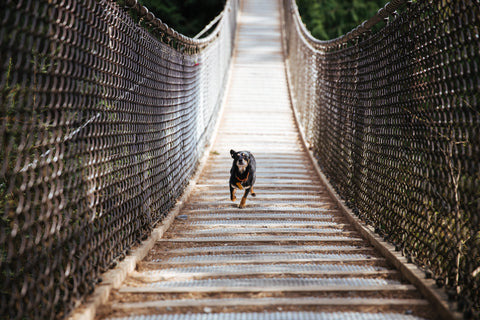 Dog runs across bridge_WO_buyonegivetwo