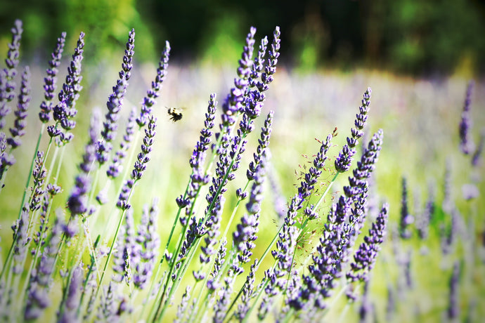 How To Plant Lavender For Success