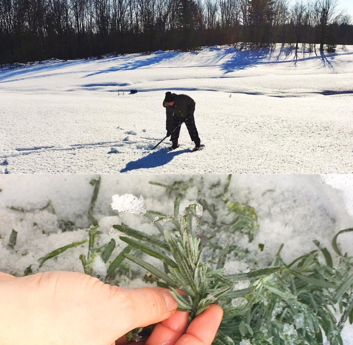 How To Protect Lavender in The Snow