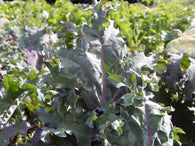 Annie's Farm Organic Red Russian Kale - Annie's Farm Produce