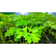Fresh Organic Irish Parsley - Annie's Farm Produce