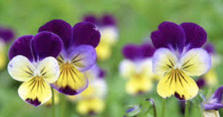 Organic Edible Viola Flower - Annie's Farm Produce