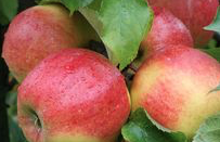 Organic Apples Jonagold Waterford - Annie's Farm Produce