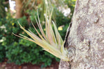 Why Air Plants Don't Need Soil