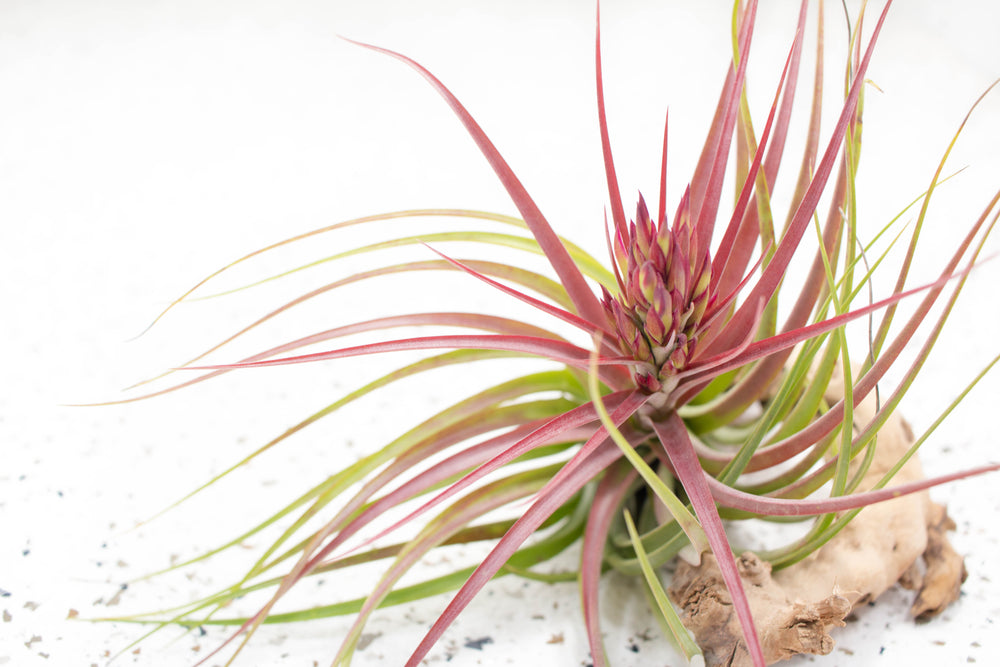 The Air Plant Blooming Process