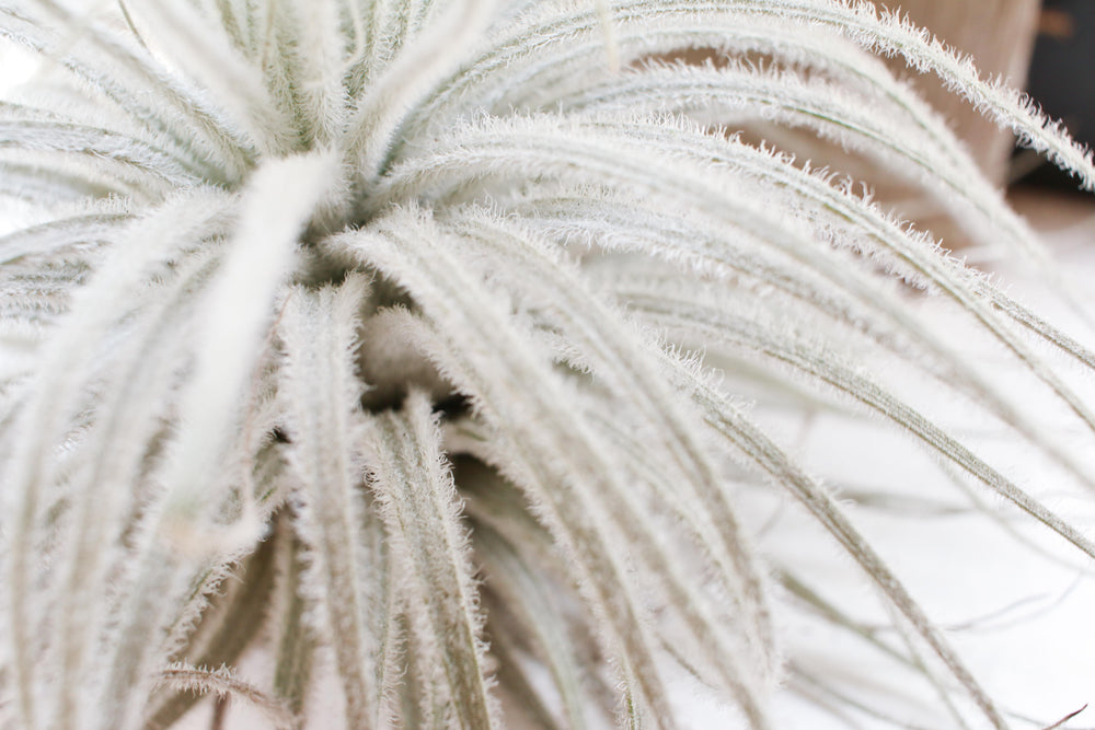 Air Plants & Trichomes