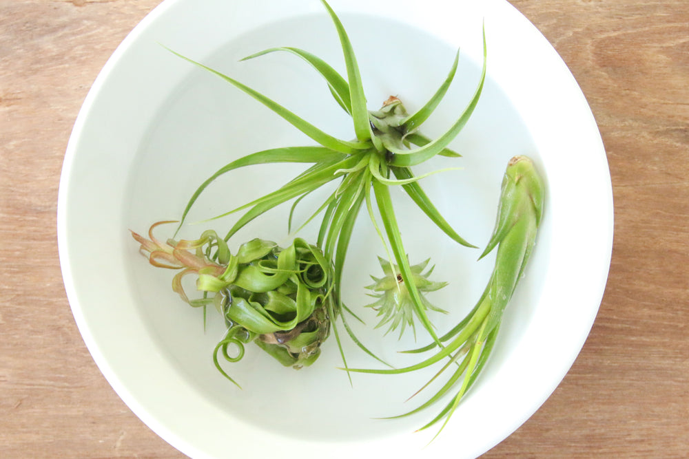 Air Plant Nutritional Needs and Fertilizer