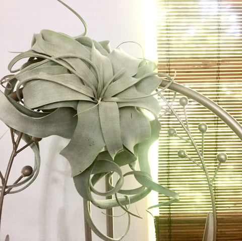 Air plants need bright indoor conditions or filtered outdoor light to survive