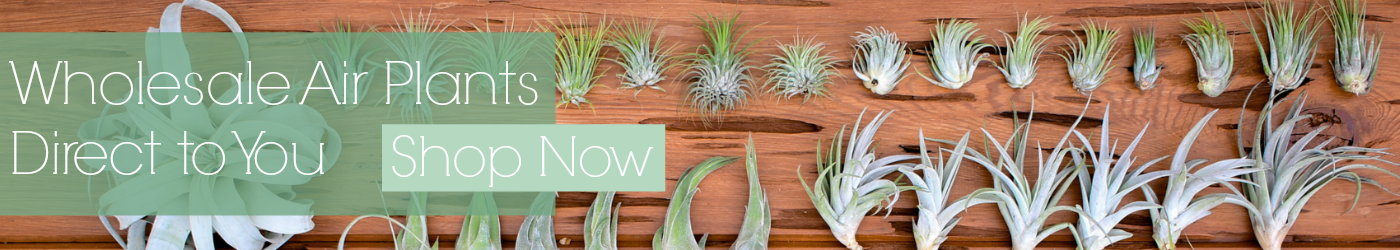 Wholesale Tillandsia Air Plants - Shop Now