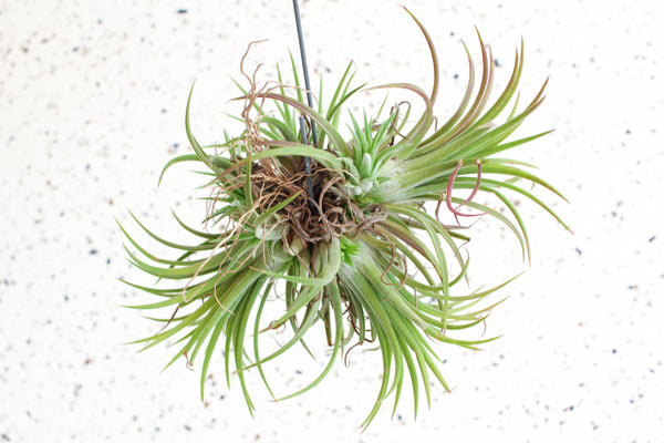 tillandsia ionantha air plant clump