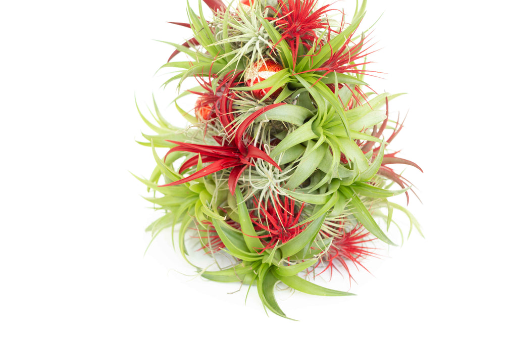 PRE-ORDER: 12 Inch Tall Handmade Air Plant Christmas Tree with 50 Living Tillandsias