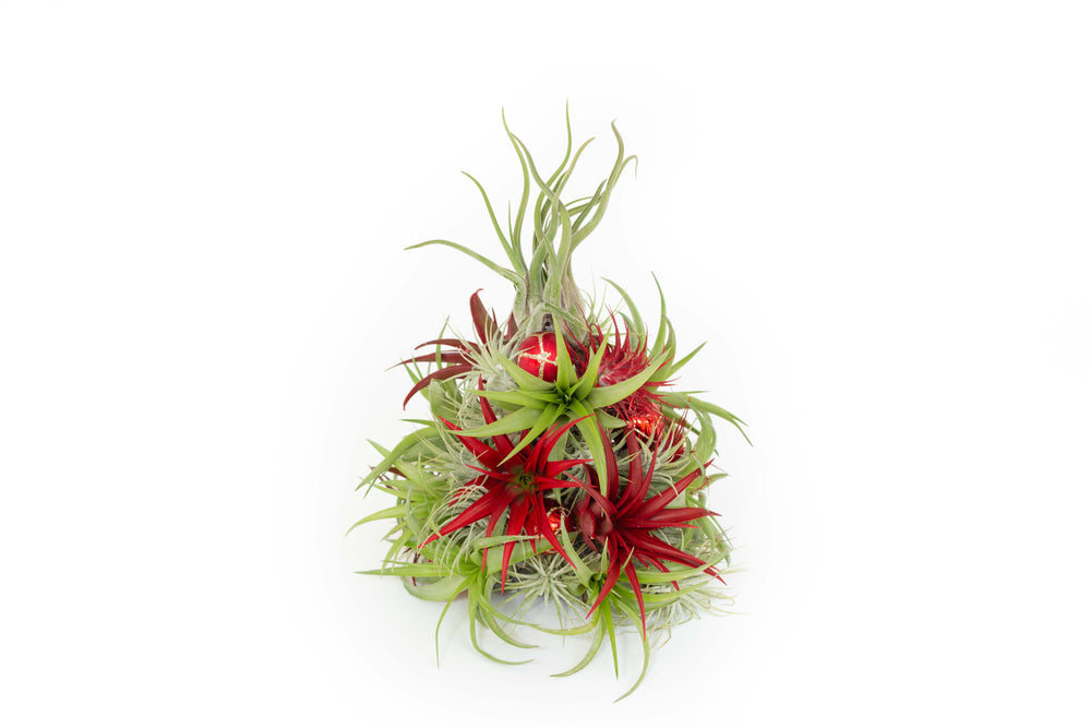 PRE-ORDER: 10 Inch Tall Miniature Handmade Air Plant Christmas Tree with 35 Living Tillandsias