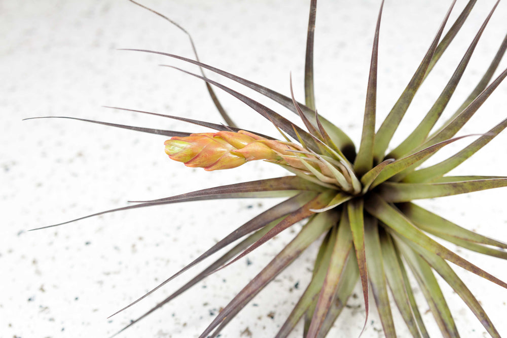 Wholesale - Tillandsia Fasciculata Tricolor 'Golden Torch' Air Plants